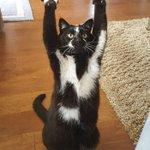 かわいすぎるwあちこちでばんざーいをし続ける猫!あだ名はゴールキティ、その理由は?!