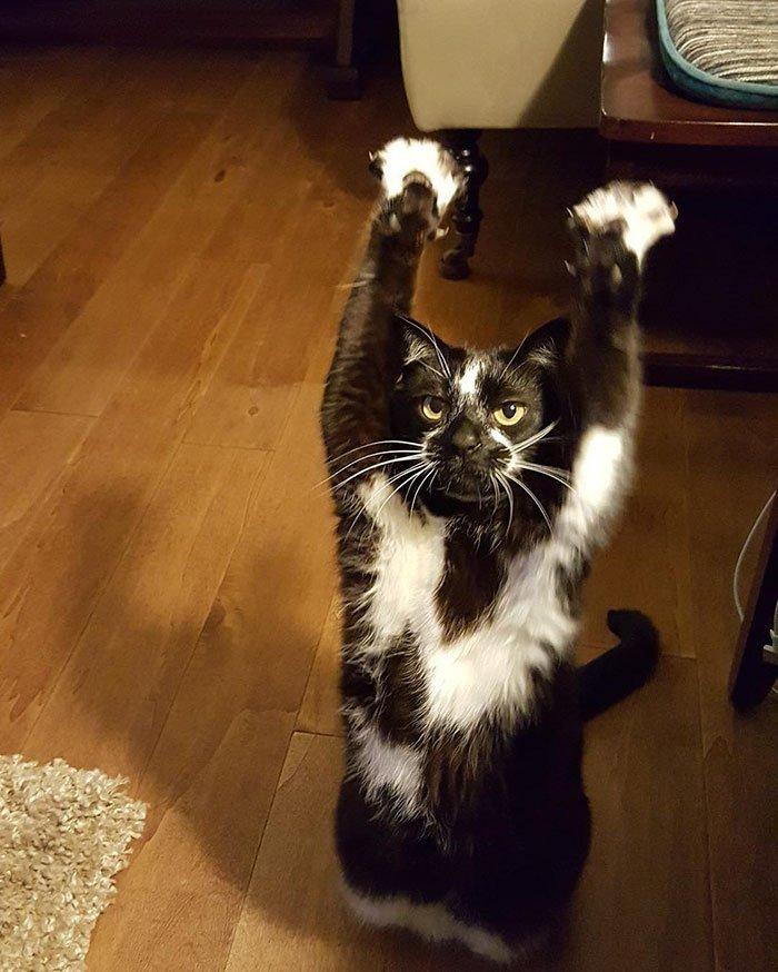 かわいすぎるwあちこちでばんざーいをし続ける猫wwwあだ名はゴールキティ、その理由は?wwww
