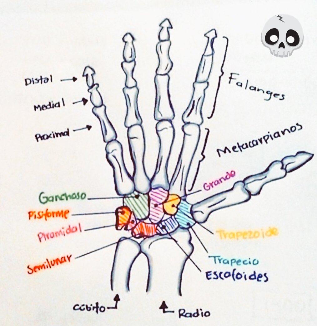Perfecto Diagrama De Huesos De La Mano Friso - Anatomía de Las ...