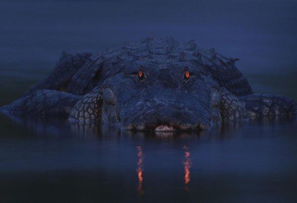 Glowing eyes of an alligator at dusk [via  http:// reddit.com  &nbsp;  ]<br>http://pic.twitter.com/gUiW1g9zKN