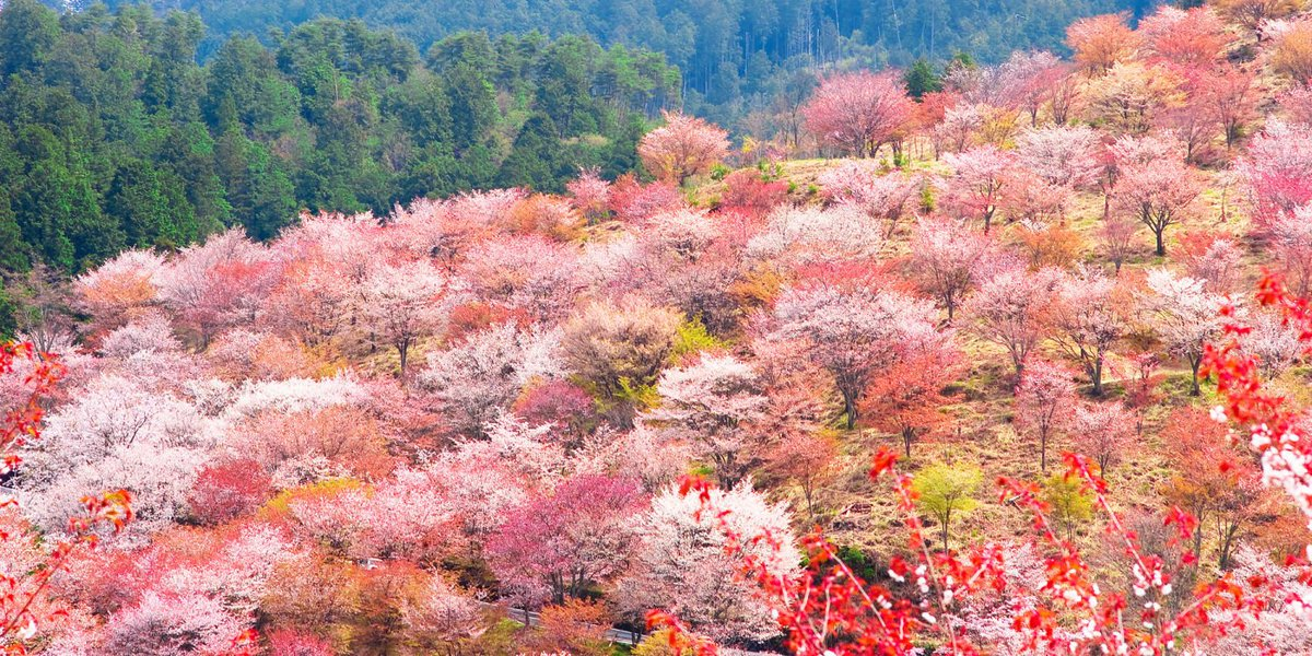 """test ツイッターメディア - <strong>吉野山</strong>の<strong>桜</strong>【奈良県】 世界遺産の<strong>吉野山</strong>は、 季節になるとたくさんの<strong>桜</strong>が咲き誇ります。 その数なんと約200種3万本! <a rel=""""noopener"""" target=""""_blank"""" href=""""https://t.co/j9y110C63x'"""" title=""""Twitter / ?"""" class=""""blogcard-wrap external-blogcard-wrap a-wrap cf""""><div class=""""blogcard external-blogcard eb-left cf""""><div class=""""blogcard-label external-blogcard-label""""><span class=""""fa""""></span></div><figure class=""""blogcard-thumbnail external-blogcard-thumbnail""""><img data-src=""""https://s0.wordpress.com/mshots/v1/https%3A%2F%2Ft.co%2Fj9y110C63x%27?w=160&h=90"""" alt="""""""" class=""""blogcard-thumb-image external-blogcard-thumb-image lozad lozad-img"""" loading=""""lazy"""" width=""""160"""" height=""""90""""/><noscript><img src=""""https://s0.wordpress.com/mshots/v1/https%3A%2F%2Ft.co%2Fj9y110C63x%27?w=160&h=90"""" alt="""""""" class=""""blogcard-thumb-image external-blogcard-thumb-image"""" width=""""160"""" height=""""90""""/></noscript></figure><div class=""""blogcard-content external-blogcard-content""""><div class=""""blogcard-title external-blogcard-title"""">Twitter / ?</div><div class=""""blogcard-snippet external-blogcard-snippet""""></div></div><div class=""""blogcard-footer external-blogcard-footer cf""""><div class=""""blogcard-site external-blogcard-site""""><div class=""""blogcard-favicon external-blogcard-favicon""""><img data-src=""""https://www.google.com/s2/favicons?domain=t.co"""" alt="""""""" class=""""blogcard-favicon-image external-blogcard-favicon-image lozad lozad-img"""" loading=""""lazy"""" width=""""16"""" height=""""16""""/><noscript><img src=""""https://www.google.com/s2/favicons?domain=t.co"""" alt="""""""" class=""""blogcard-favicon-image external-blogcard-favicon-image"""" width=""""16"""" height=""""16""""/></noscript></div><div class=""""blogcard-domain external-blogcard-domain"""">t.co</div></div></div></div></a> /></a></div></div></div></div></div></div><h2><span id=""""toc2"""">吉野山(上千本・中千本・下千本)の混雑状況</span></h2><p><strong>吉野山(上千本・中千本・下千本)の桜</strong>に関する最近の口コミは見つかりませんでした。</p></div><footer class=""""article-footer entry-footer""""><div class=""""entry-categories-tags ctdt-one-row""""><div class=""""entry-ca"""