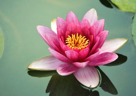 Indian diplomacy on twitter national flower india serene and national flower india serene and pristine the lotus nelumbo nucifera gaertn is a symbol of indian art culturepicitter40vmsjr0vw mightylinksfo