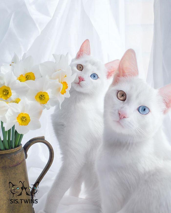 """オッドアイ""""をもつ、世界一美しい双子姉妹ネコ、アイリスとアビス。boredpanda.com/cat-twin-siste…薄いブルーと薄いブラウン、魅惑的だ。 pic.twitter.com/uYNTTI0ney"""
