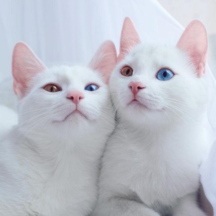 あまりの美しさに切なくなる! ブルーとイエローのオッドアイの猫、双子姉妹、アイリスとアビス!