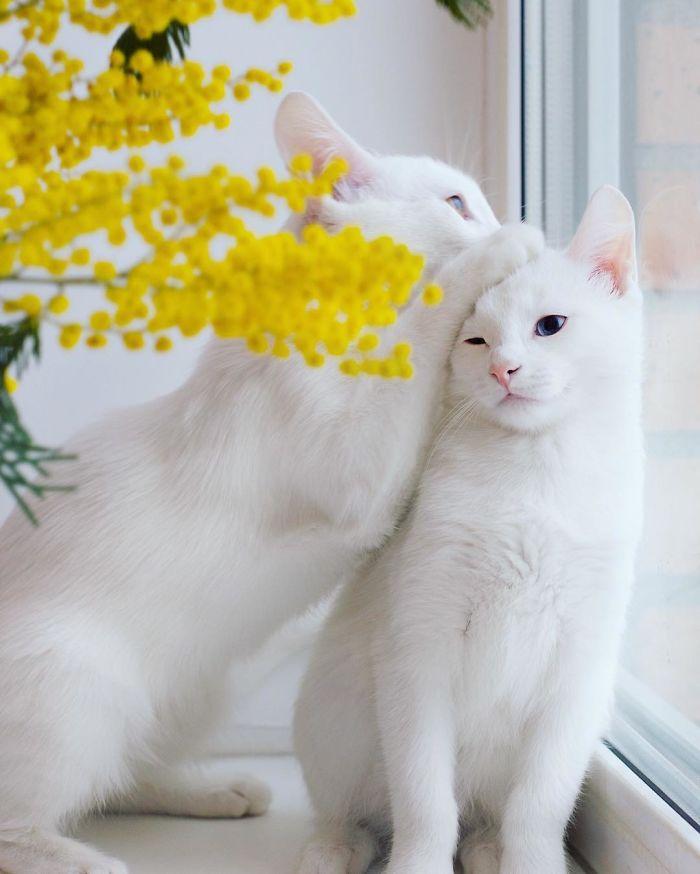 """""""オッドアイ""""をもつ、世界一美しい双子姉妹ネコ、アイリスとアビス。  boredpanda…"""