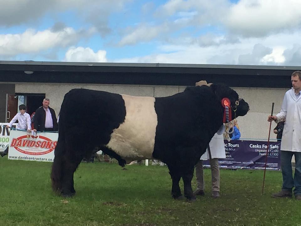 Dumfries Show Male champion 74. Senior Bull - Mrs C Fletcher - Barwise Javalin