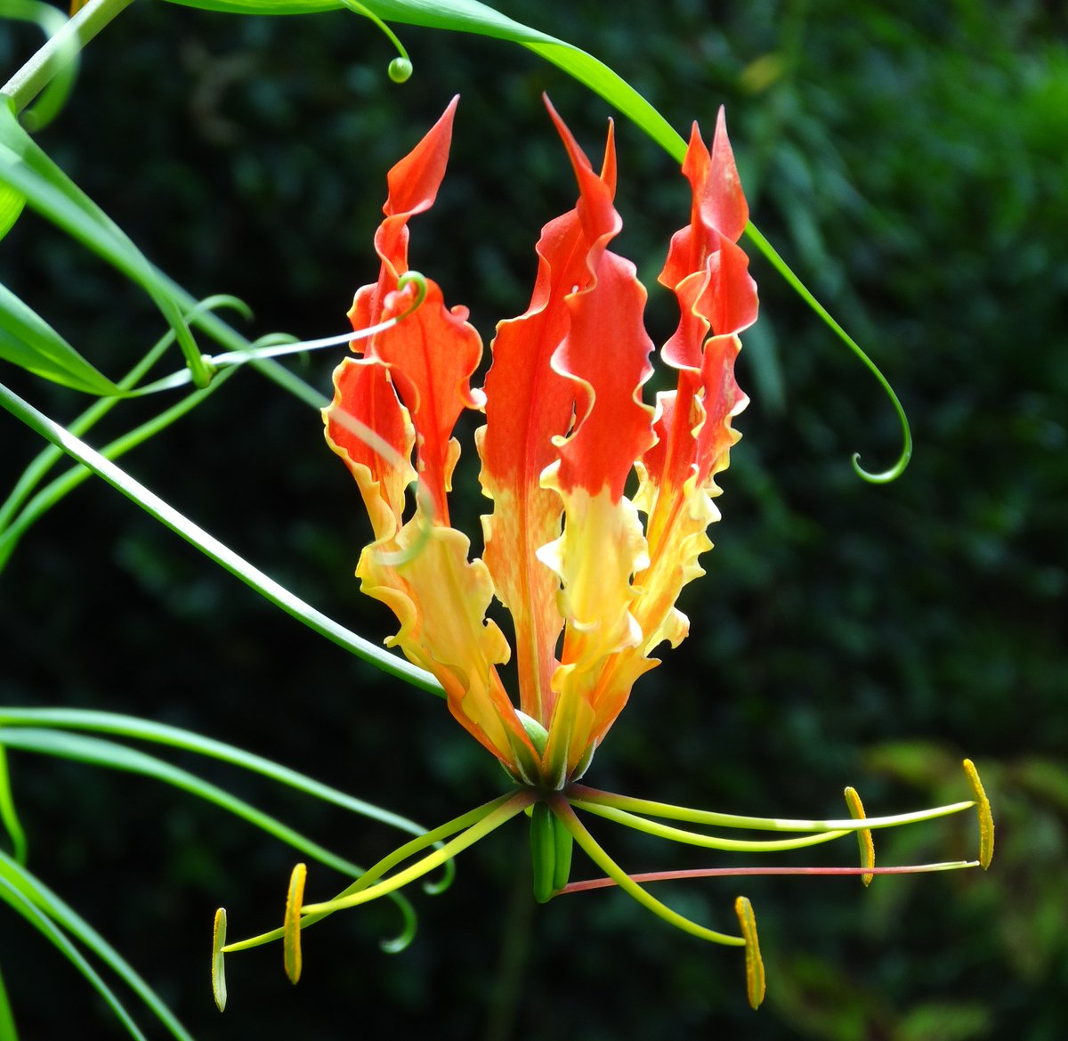 Flowers of sri lanka on twitter gloriosa superba glory lily flowers of sri lanka on twitter gloriosa superba glory lily liliaceae a native climber also in trop africa asia famous plant tuber v toxic izmirmasajfo