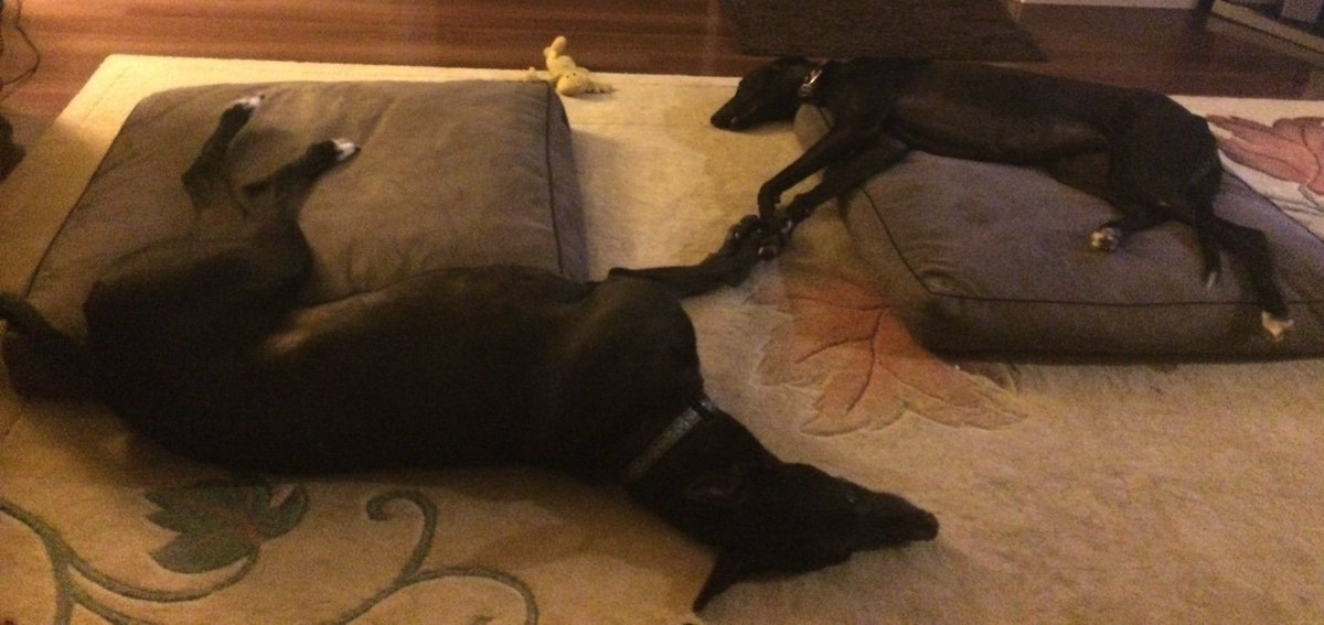 Synchronised sleeping #olympicsforgreyhounds https://t.co/vAR78sw37x