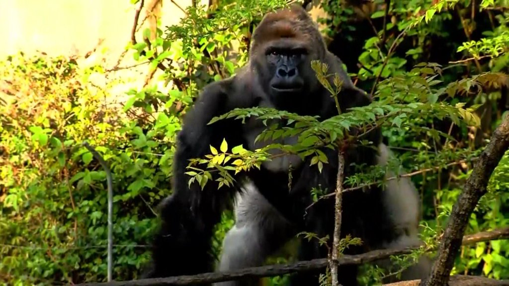Petition calls to change Bengals' name to 'Cincinnati Harambes': https://t.co/Nnl3TtcOaw