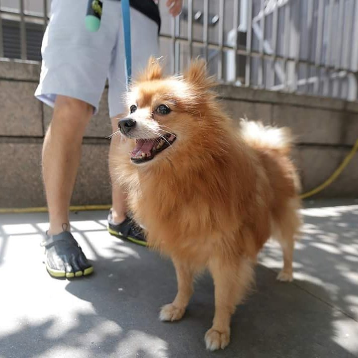 Papi the Pom still needs a home. Please LIKE/SHARE! https://t.co/DVlczksqS3  #AnimalHaven  #adopt  #pomeranian https://t.co/yYxvCGHwdN