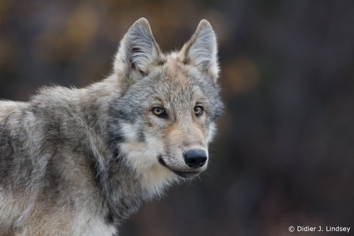 Huge thanks to the @leodicaprio foundation, who just awarded us a grant to continue working to #savewolves https://t.co/LBY0Z8bBTz