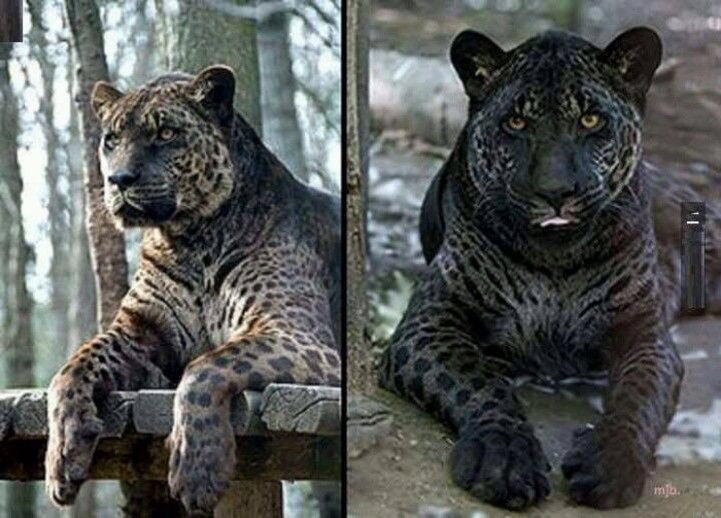 Loren Coleman On Twitter Melanistic Male Jaguar Is The Father Sometimes Very Casually Called A Black Panther Hybrids Are Jaglions Itistwitter