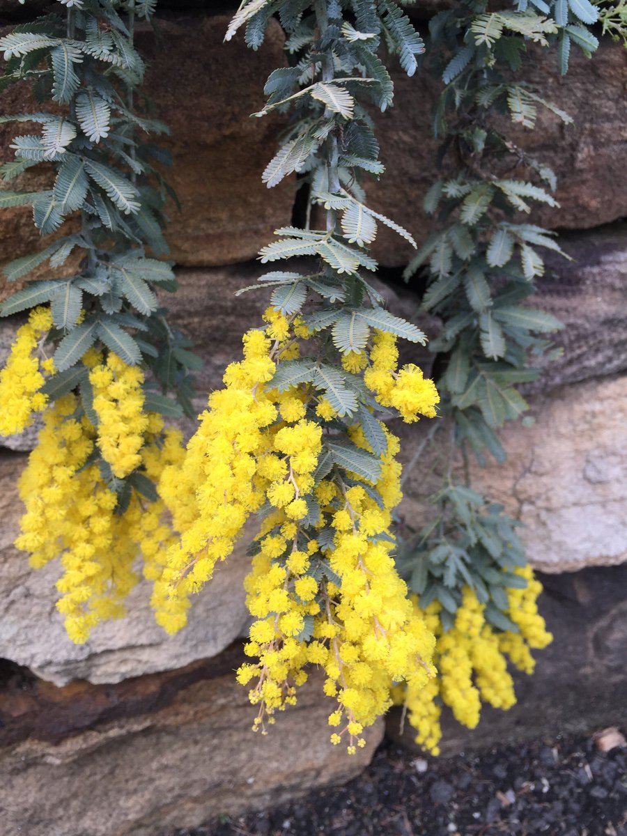 Dr Dale Dixon On Twitter Wattle It Be Acacia Baileyana Fabaceae