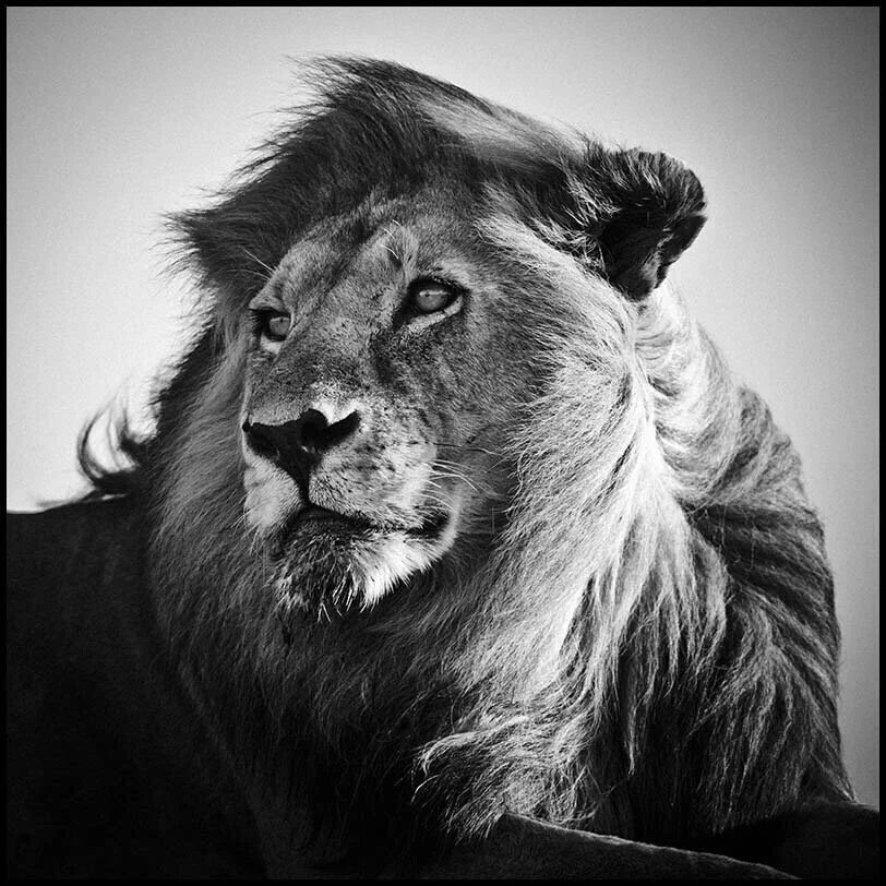 yettio travel mag on twitter stunning b w lion. Black Bedroom Furniture Sets. Home Design Ideas