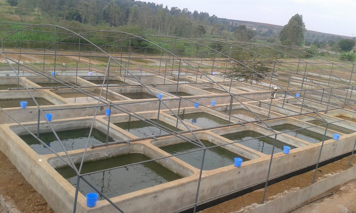 Rosemknz on twitter makindi fish farm thika with 90 for Fish farming ponds