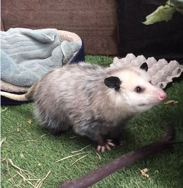 Happy Opossum Monday! The perfect day to celebrate our favorite marsupials! https://t.co/0FQCxgIJrt