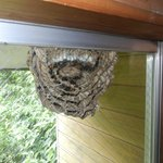 【虫注意!】スズメバチが窓に巣を作ってヤバイw巣の中丸見えなドキドキ感!