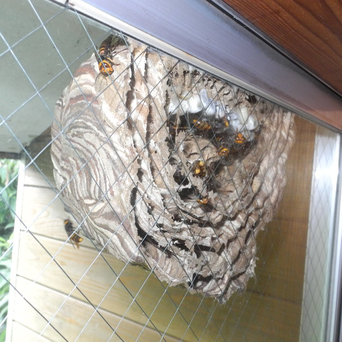 【虫注意!】スズメバチが窓に巣を作ってヤバイw巣の中丸見えなドキドキ感www