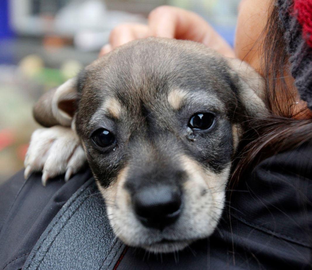 #MML pone en adopción a cachorros rescatados tras ejecutar operativo contra la venta ilegal de animales en Cercado. https://t.co/A8KpJmq5kB