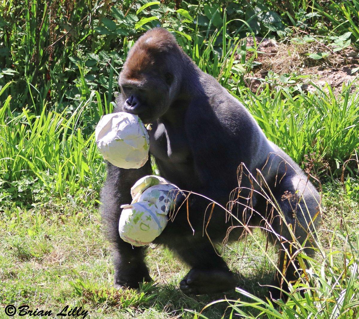 N'dowe Gorilla #gorilla hashtag on Tw...