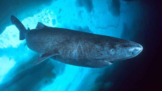 Record Animale: Scoperto Squalo della Groenlandia di 400 anni d'età