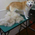 抜け毛ってレベルじゃねーぞw犬の毛生え変わりがモッコモコで草はえる!