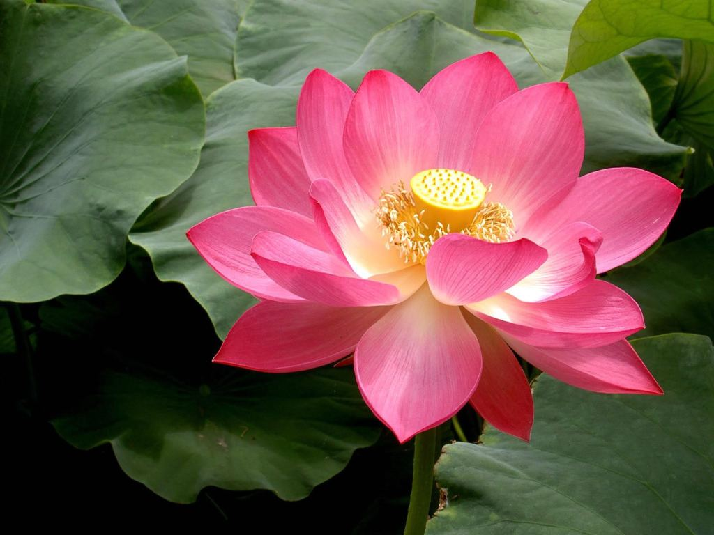 Indian Diplomacy On Twitter National Flower India Serene And