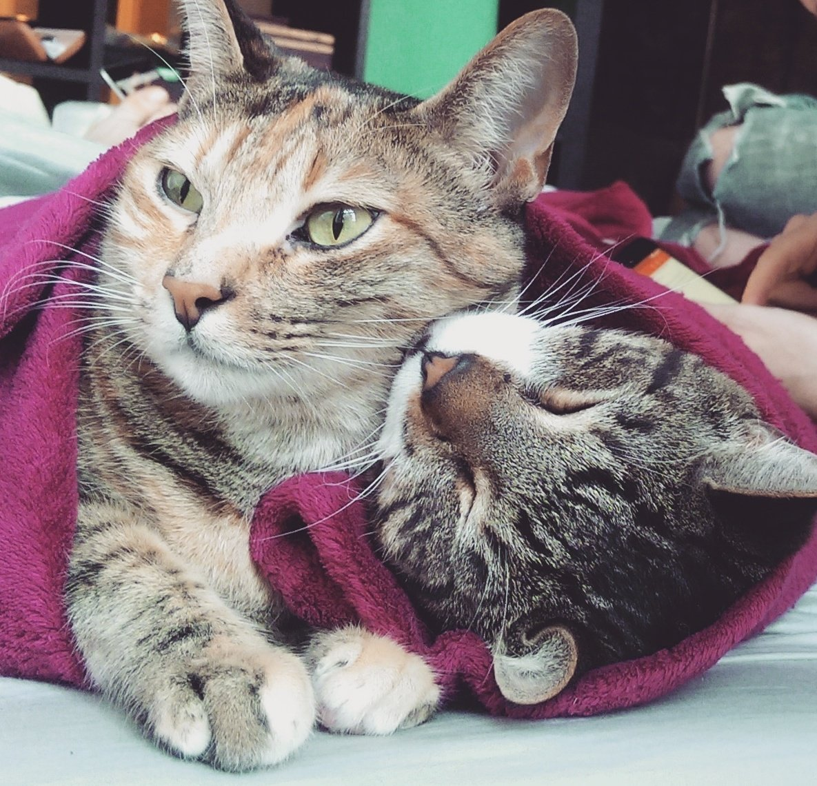 My cats (Lumen and Waffle) cuddled up in a blanket