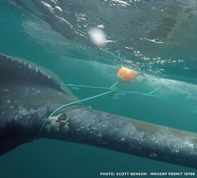 Bill To Promote Whale Safety Amid Rising Fishing Gear Entanglements Heads To Governor's Desk