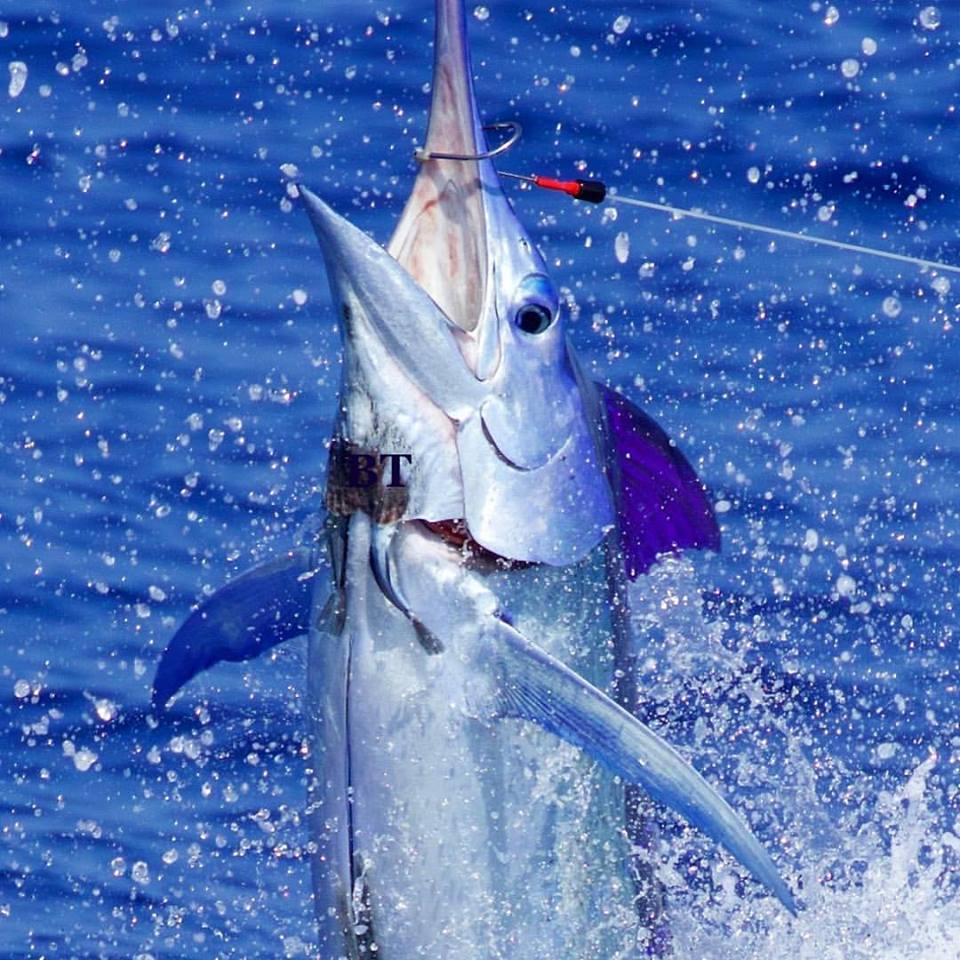 Kona, HI - Capt. Bryan Toney on Marlin Magic went 1-2 on Blue Marlin.