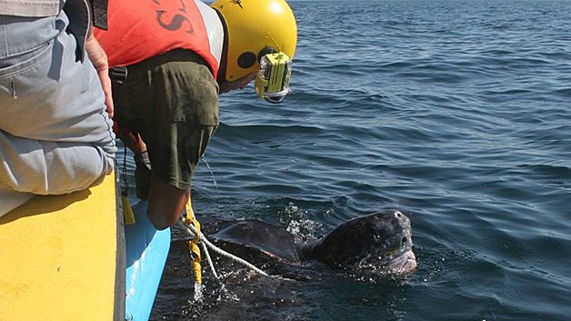 Entangled leatherback sea turtles rescued in Cape Cod Bay (pic: Center for Coastal Studies)