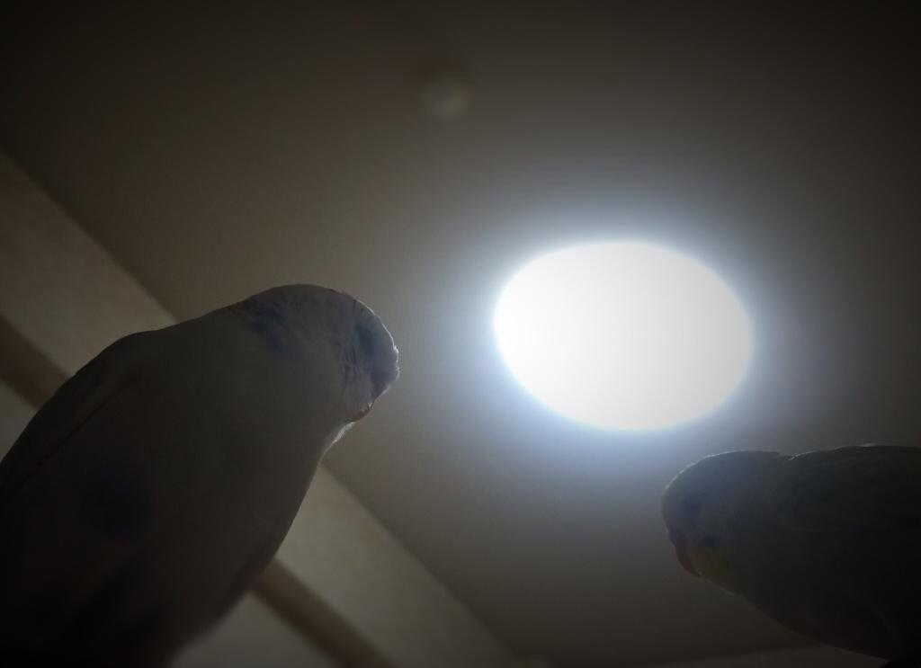 [鳥]「手術はうまくいったのか?」 「はい。首から上は完全にインコです」[2016年8月28日]
