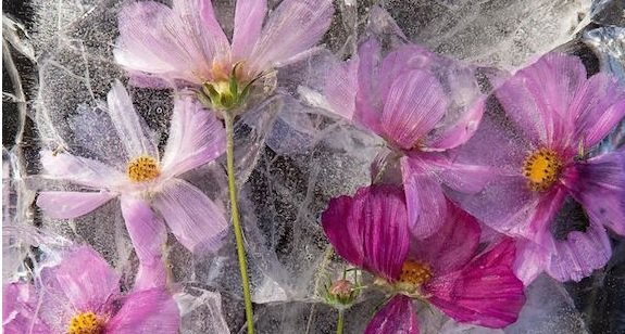 Zero Degrees - stunning photography of frozen flowers: https://t.co/xmLZ4HQzZy https://t.co/u63kvCOAP1