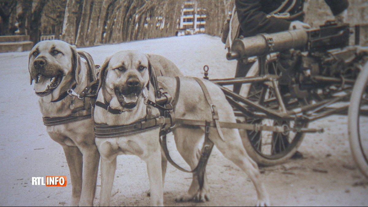 Le matin belge, une race de chien disparue dans les années