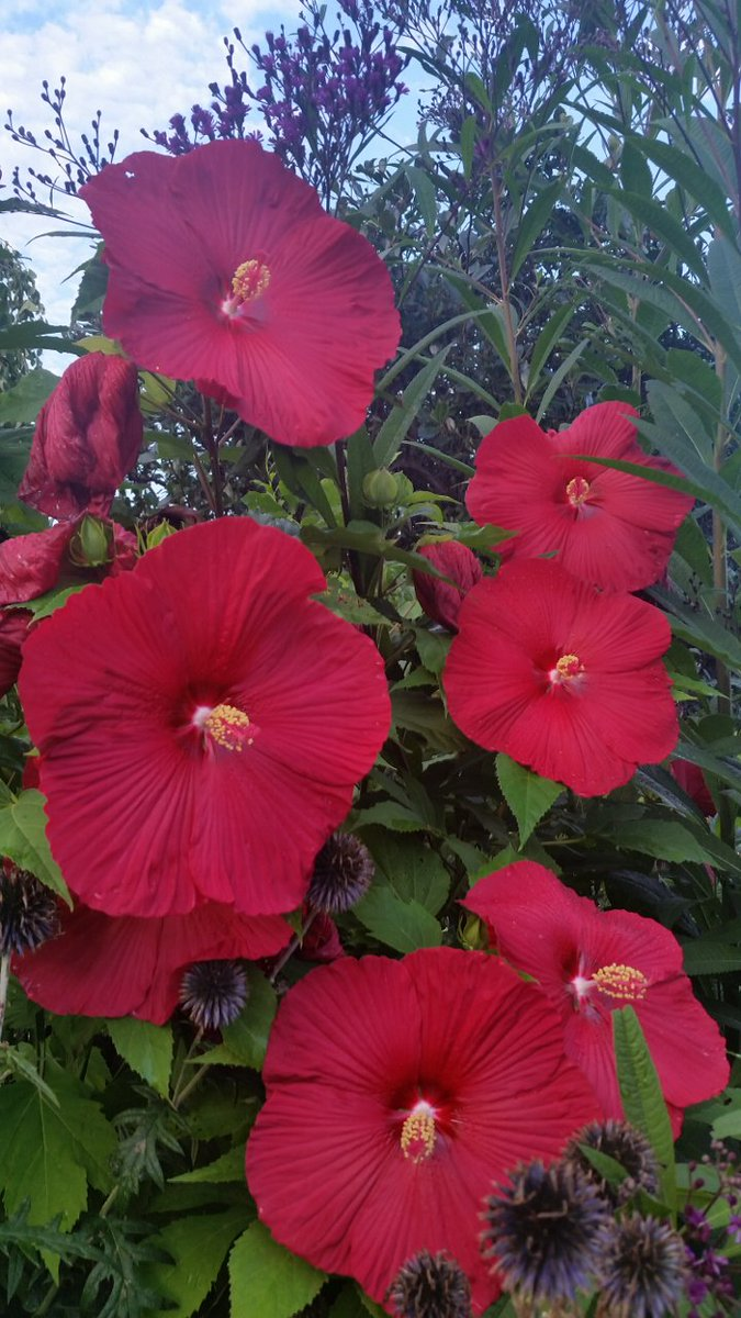 """Hardy Hibiscus 'Fireball' has 9"""" flowers and stops you in your tracks!  Beloved by butterflies and bees, too! https://t.co/Yr5E2w5agh"""