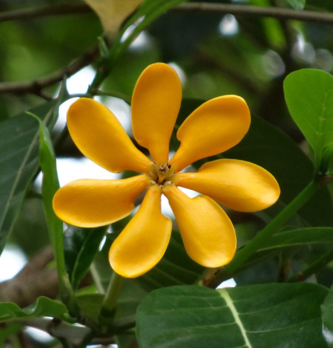 Flowers Of Sri Lanka On Twitter Gardenia Gjellerupii Golden