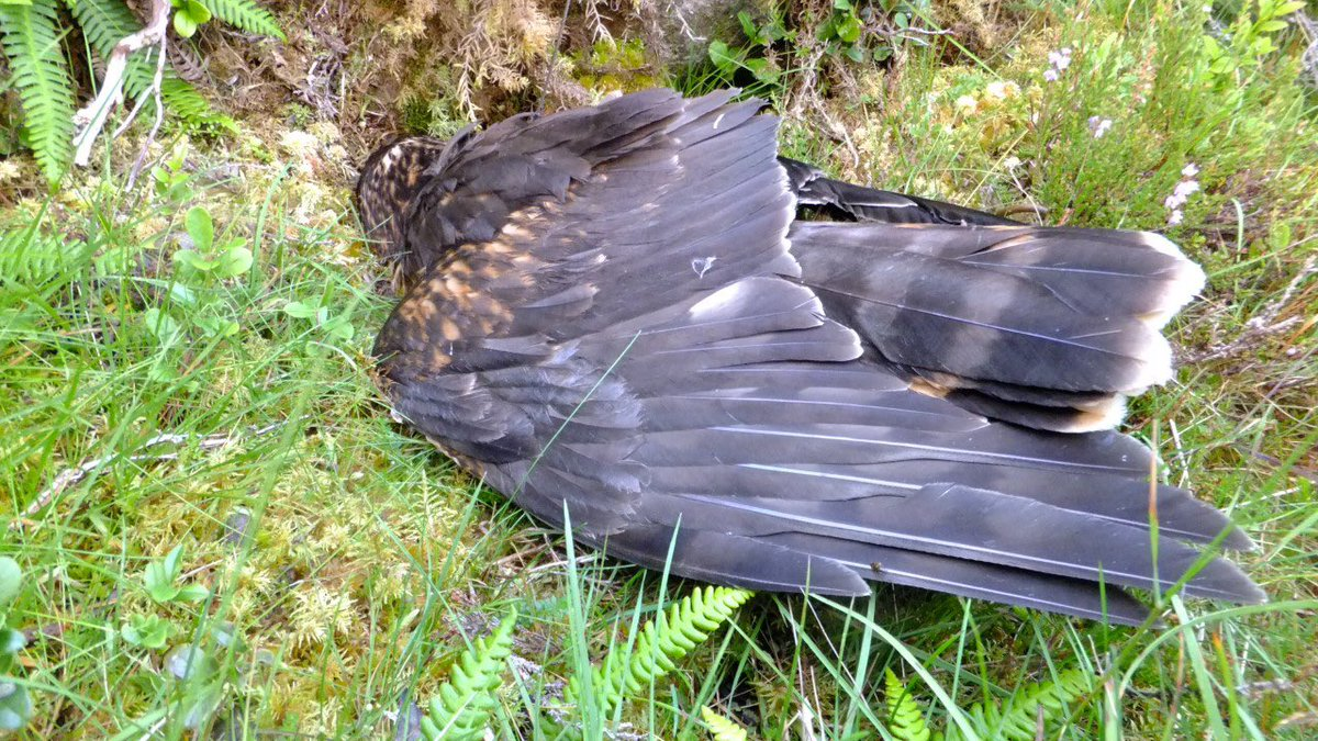 Another day , another dead harrier on a grouse moor . This one lasted just a month https://t.co/1XnfAQqjdm https://t.co/szejhTXi7Z