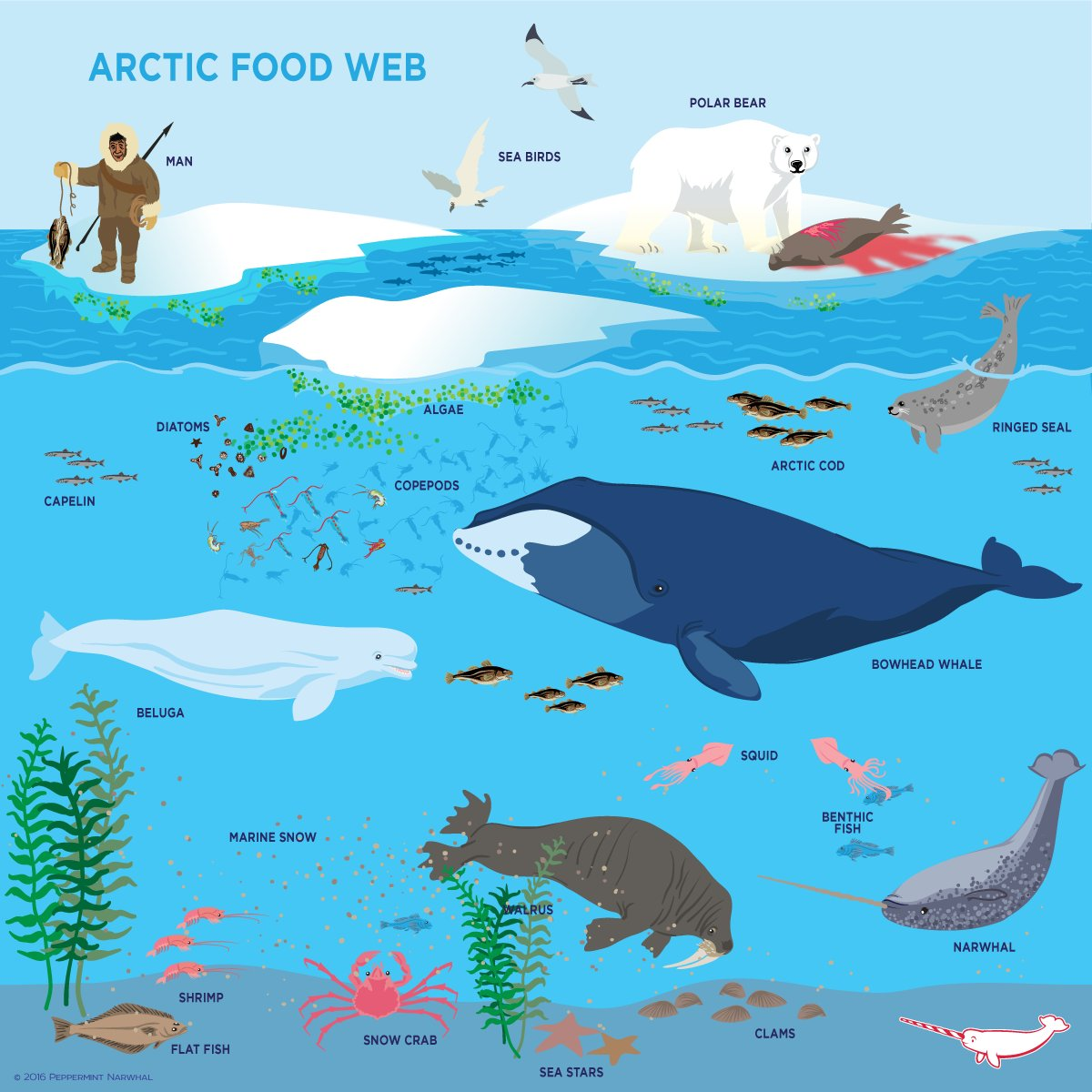 """Arctic Ocean Food Web: Peppermint Narwhal On Twitter: """"Sea Ice Is The Foundation"""