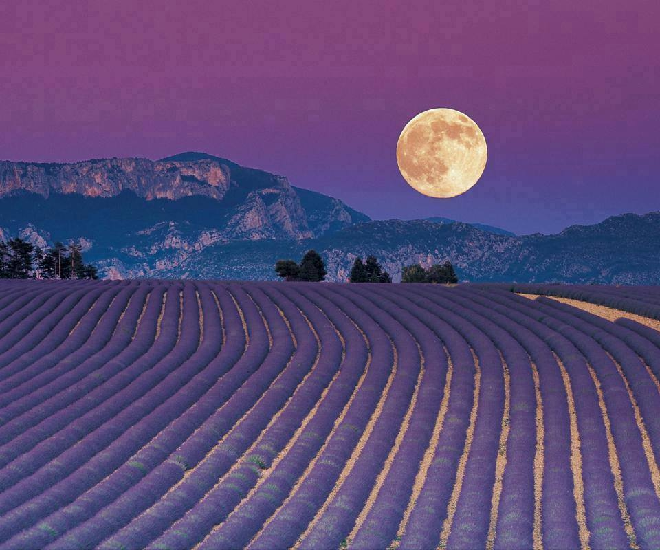 Lavender Moon Night