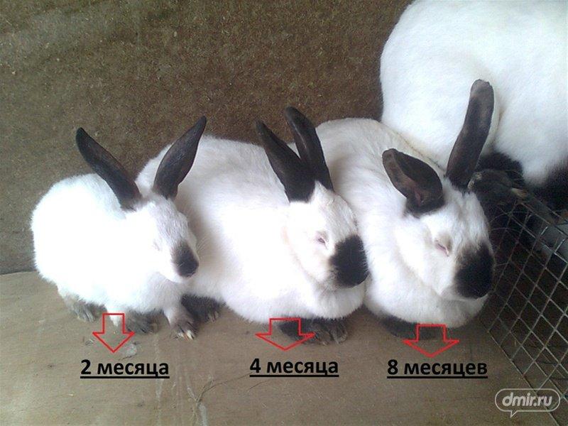 какая порода мясных кроликов самая лучшая отзывы синтетической ткани хорошо