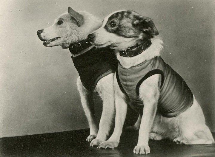картинки первых собак в космосе