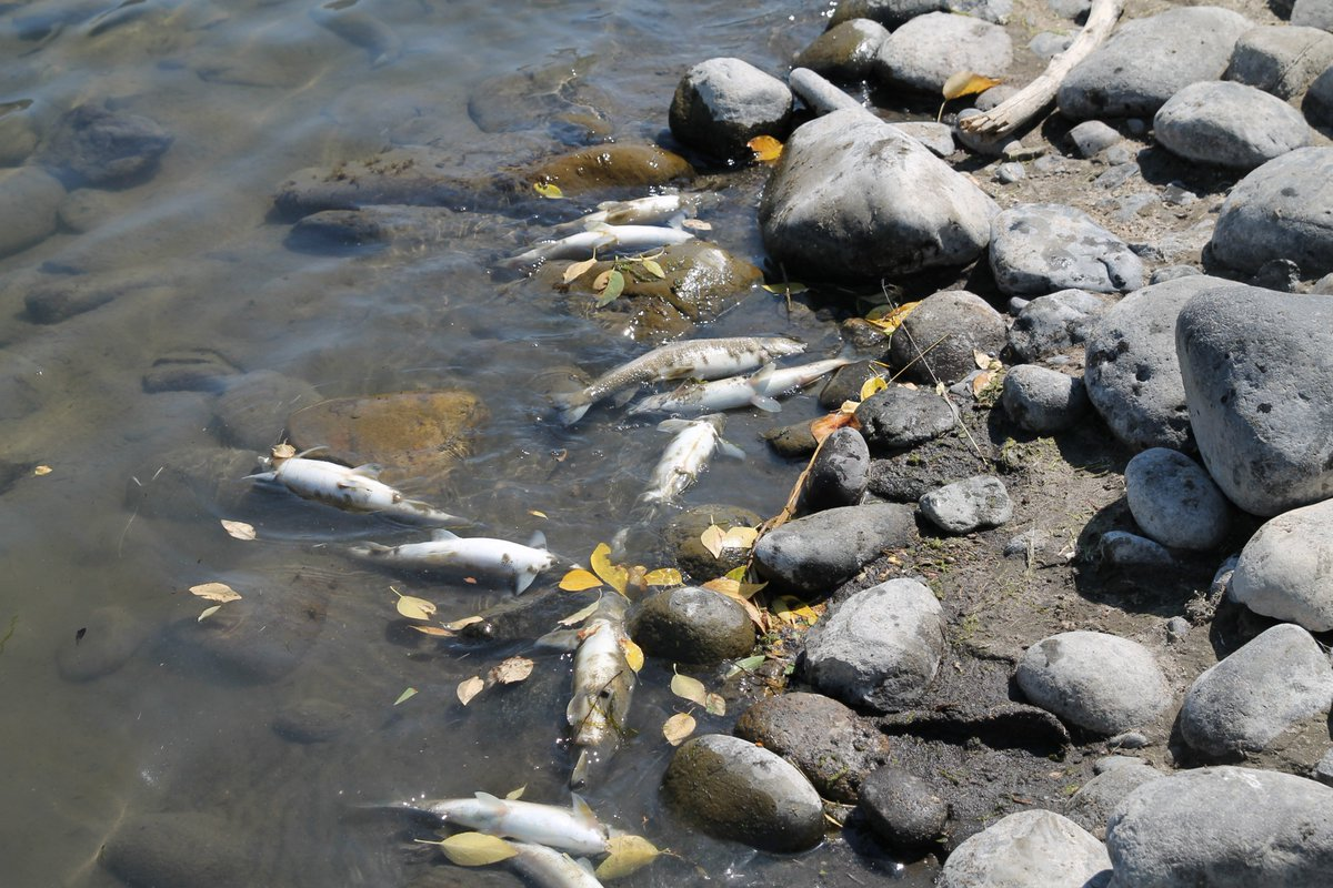 'Unprecedented': Deadly parasite kills thousands of fish, prompts Yellowstone river closure