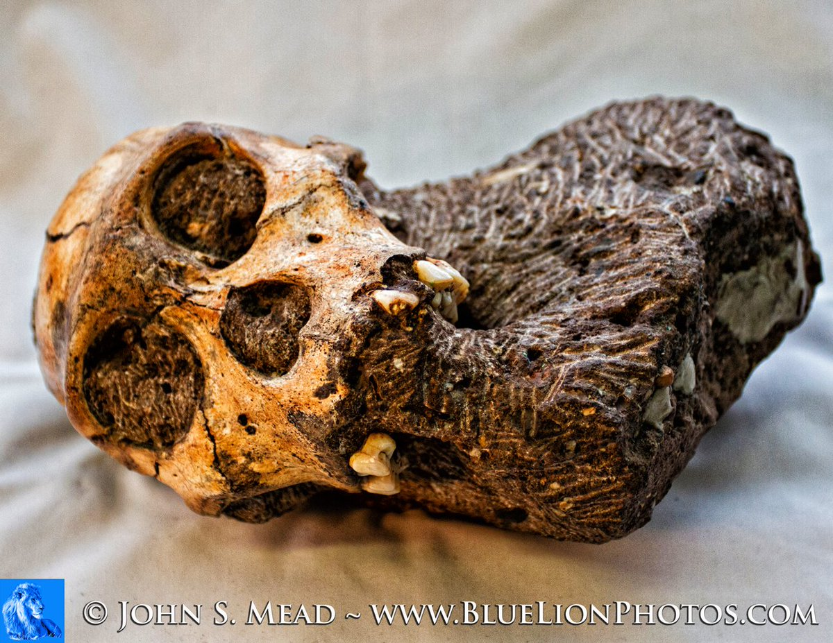 """Happily merging #WorldPhotoDay and #FossilFriday with my 2013 portrait of """"Karabo"""" ( Australopithecus sediba - MH1) https://t.co/0b0Co0yPP4"""