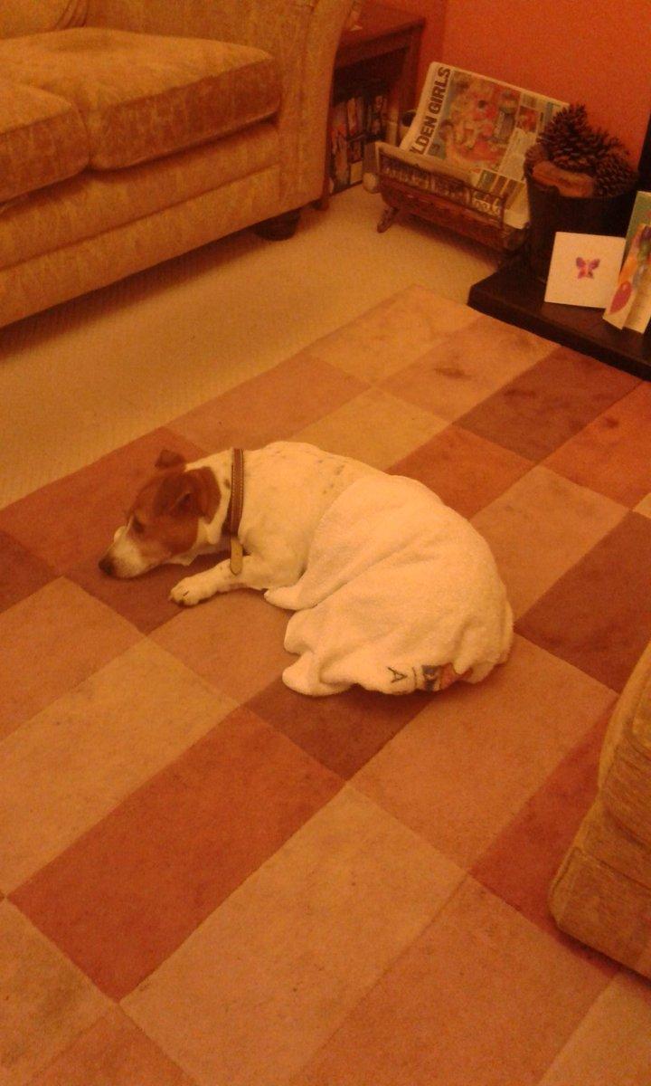 I got cold so I covered myself up in a towel all by myself #WarmPooch #BigBoyDog