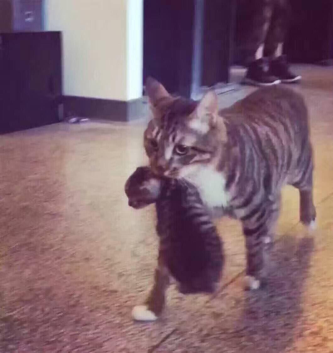 RT @zerococacola201: 웨이보) 어느날 수컷 고양이가 밖에 나가서 지랑 똑같이 생긴 애기를 물어가지고 왔다는데 닮아도 넘 닮은 거지ㅋㅋㅋㅋㅋㅋㅋㅋ 3짤 보고 주먹 물고 울뻔ㅠ https://t.co/EHocf3TQYk