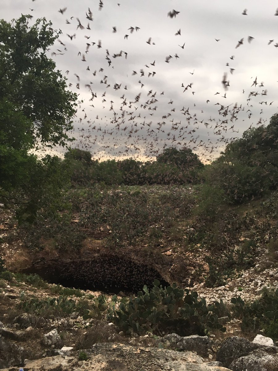 Holy moly---these bats WAY exceeded my expectations! 15 million bats emerging from #BrakenCave near San Antonio, TX https://t.co/0xYFeE3UDl