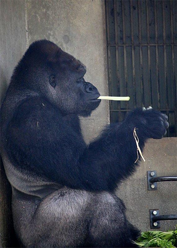 タバコをふかしているように見えるけど、ネギですv(-。-)> #東山動物園 #シャバーニ