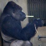 え!ゴリラってタバコ吸うの?!東山動物園で人気のシャバーニ君にとんだゴシップ!