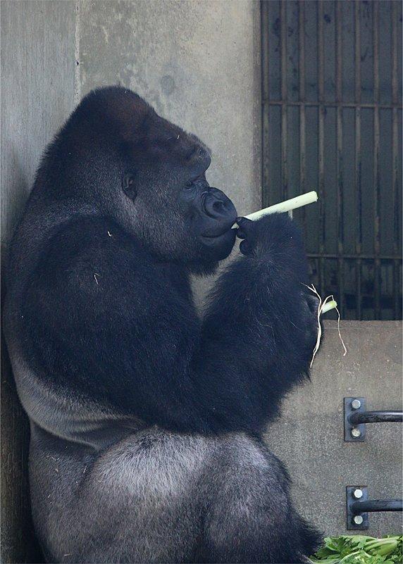 え!ゴリラってタバコ吸うの?!東山動物園で人気のシャバーニ君にとんだゴシップwww