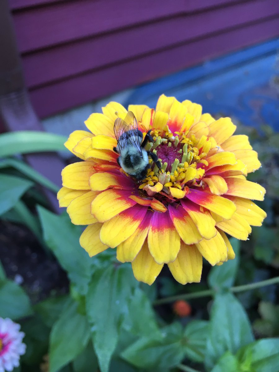 Bees are busy. Planting zinnias from seed attract tons of pollinators and compliments to your #garden! #gardenchat https://t.co/ny0UGT5avy